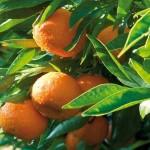 Clementine di Calabria (IGP)