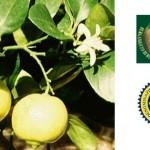 Bergamotto di Reggio Calabria olio essenziale (DOP)