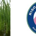 Riso di Baraggia Biellese e Vercellese (DOP)
