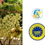 Uva da Tavola di Canicatti (IGP)
