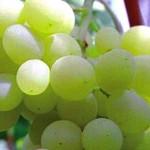 Uva di Puglia (IGP)
