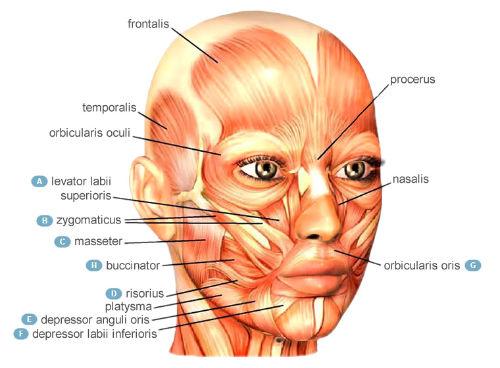 muscoli-facciali