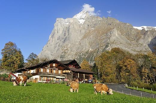 svizzera_mucche
